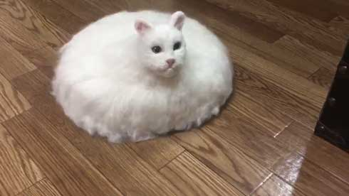 猫とルンバ融合